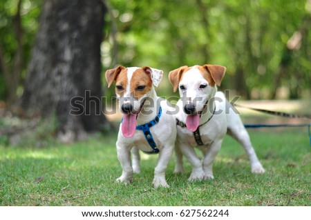 2 Cute Jack Russell Terriers, mask marking and ear patch marking, standing in the yard, tongue out