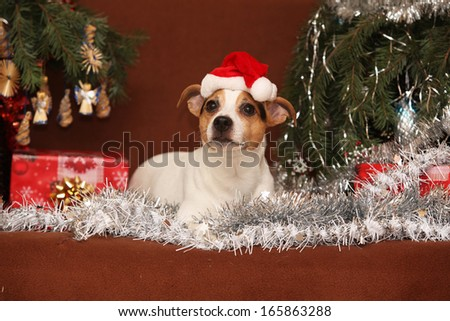 Cute lying Jack russell terrier with Santa hat in a christmas on some blanket