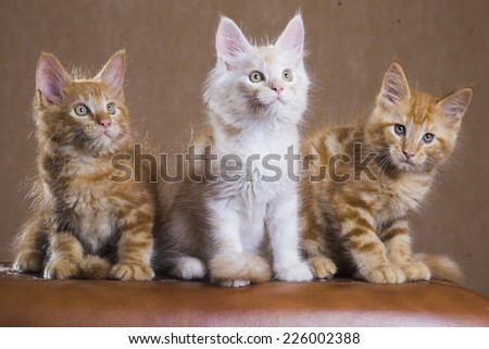 3 Cute Maine Coon kittens