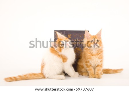 2 Cute Maine Coon kittens on white background with large book
