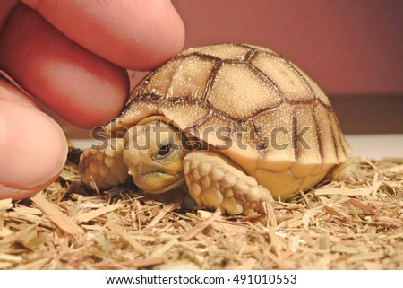 Cute portrait of baby tortoise hatching (Africa spurred tortoise) ,Birth of new life ,Closeup of a small newborn tortoise