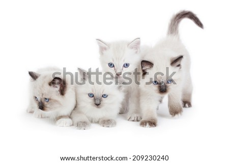 4 Cute Ragdoll kittens on white background - stock photo