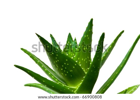cutout of an aloe vera isolated on a white background