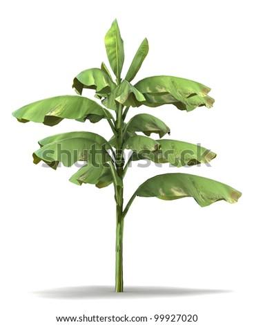 3d   Banana tree isolated over white - stock photo