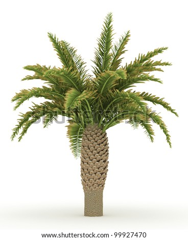 3d  Canary Date Palm  isolated over white - stock photo
