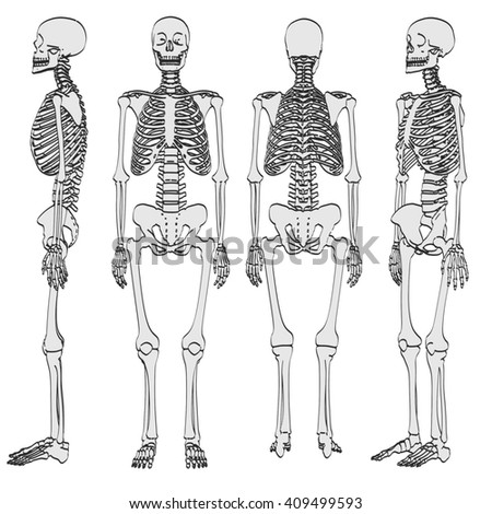 structure of the human skeleton stock images  royalty