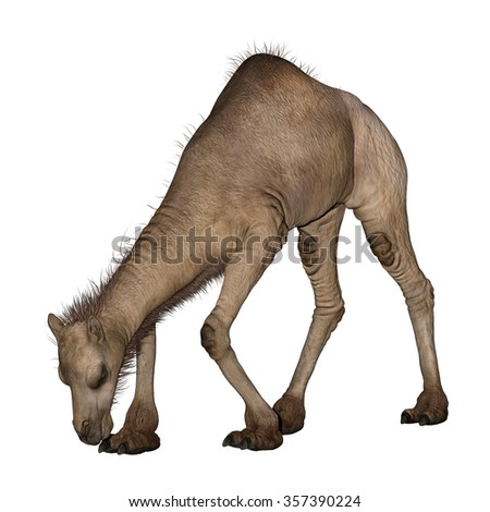 3D digital render of a  dromedary or arabian camel isolated on white background
