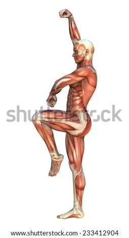 3D digital render of a human figure with muscle maps in a crane beak martial arts position isolated on white background