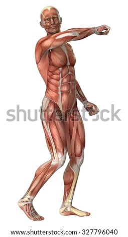 3D digital render of a male anatomy figure with muscles map isolated on white background