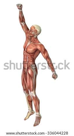 3D digital render of a male figure with muscle maps isolated on white background