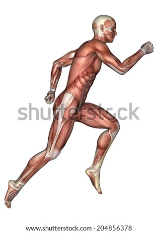 3D digital render of a running male anatomy figure with muscles map isolated on white background - stock photo
