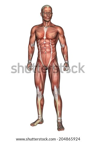 3D digital render of a standing male anatomy figure with muscles map isolated on white background - stock photo