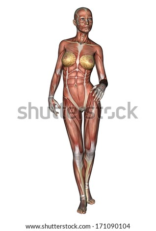 3D digital render of a walking female anatomy figure with muscles map isolated on white background