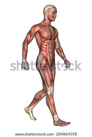 3D digital render of a walking male anatomy figure with muscles map isolated on white background - stock photo