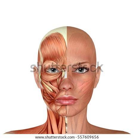 3 D Female Face Muscles Anatomy Stock Illustration 557609656 ...