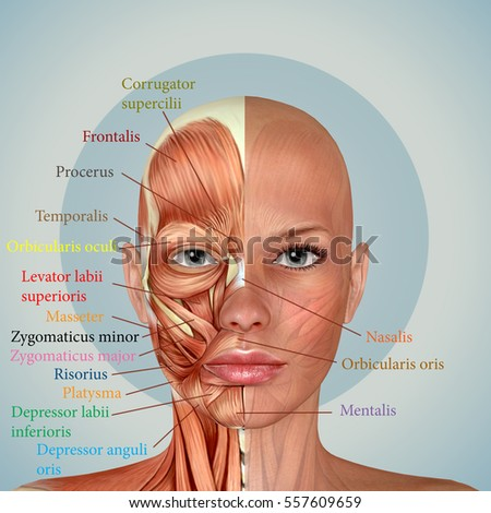 3 D Female Face Muscles Anatomy Stock Illustration 557609659 ...