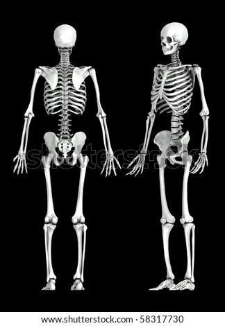 3d human skeleton stock images, royalty-free images & vectors, Skeleton