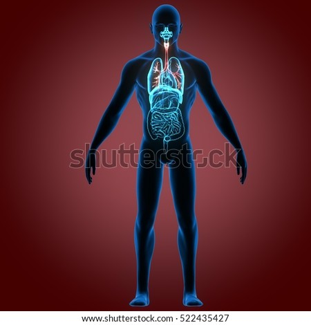 3d illustration human body organes