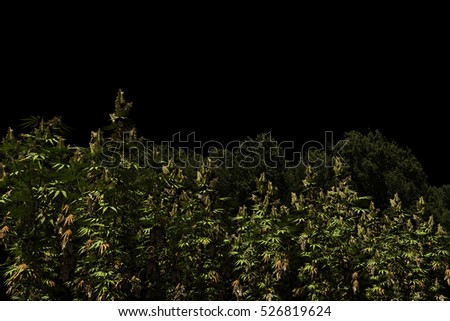 3d Illustration of a marijuana field isolated on black background