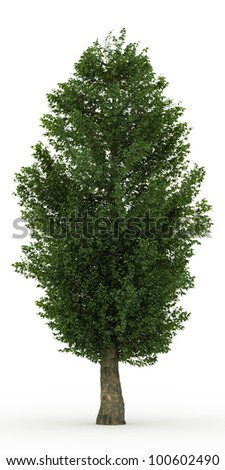 3d Large-leaved Linden  tree isolated over white