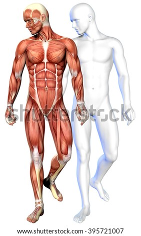 3d male body anatomy isolated on white