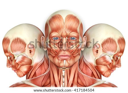 3d Male Face Muscles Anatomy with side views - stock photo