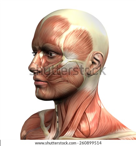 3D male figure with close up of face with muscle map - stock photo