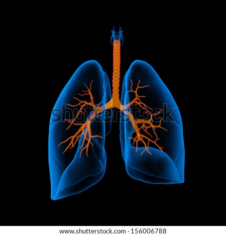 3D medical illustration - lungs with visible bronchi -back view - stock photo