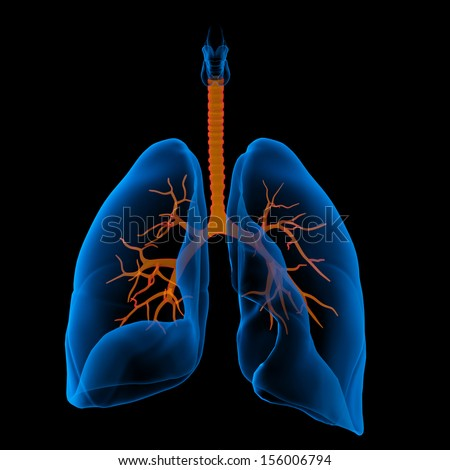 3D medical illustration - lungs with visible bronchi -front view - stock photo