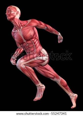 anatomical model stock images, royalty-free images & vectors, Muscles