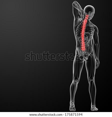 3d rencder Human Spine Anatomy - stock photo