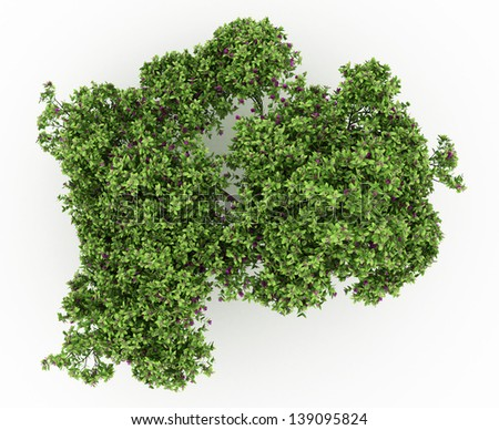 3d render Cloves bush tree with flowers isolated over white
