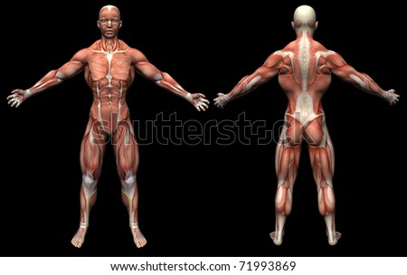 3D render human anatomy  muscles male