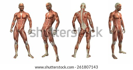 3d render illustration of the muscular system