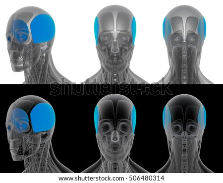 3D render medical illustration of the auricularis