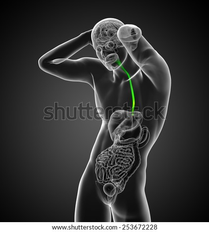 3d render medical illustration of the esophagus - front view