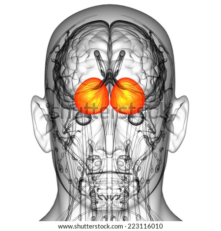 3d render medical illustration of the human brain cerebrum - back view - stock photo