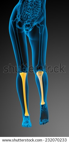 3d render medical illustration of the tibia bone - front view