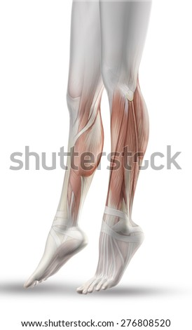 3D render of a close up of female legs with partial muscle map - stock photo
