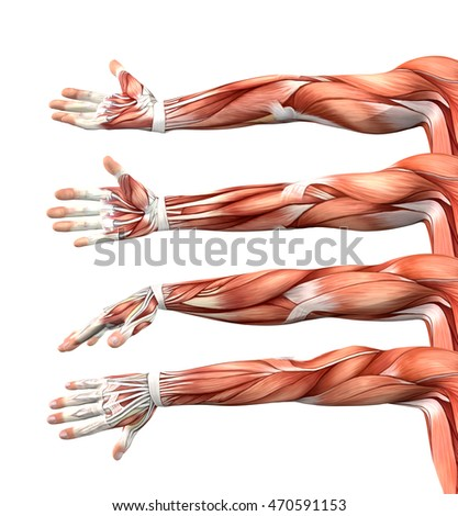 3 D Render Male Anatomy Showing Arms Stock Illustration 470591153 ...