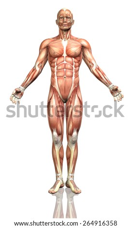 3D render of a male figure with a detailed muscle map - stock photo