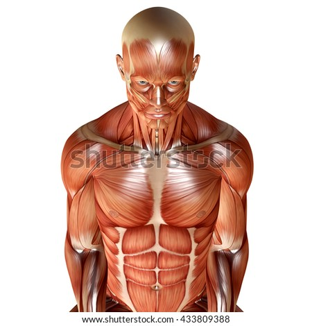 3d render of a male muscular anatomy