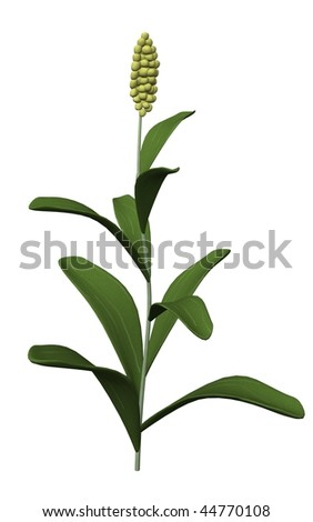 3d render of sorghum plant - stock photo