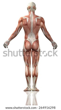 3D render of the rear view of a medical man with detailed muscle map