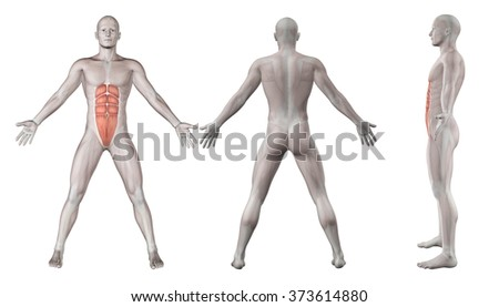 3D render showing male figure with abdominal muscles - rectus abdominis