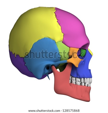 3d rendered illustration - human skull anatomy - stock photo