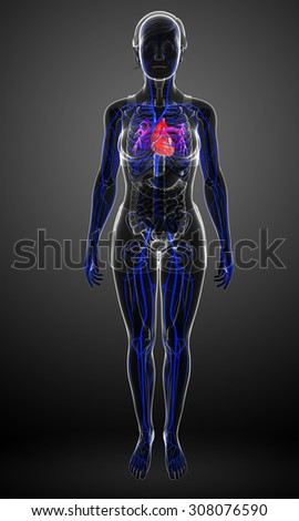 3d rendered illustration of female heart anatomy