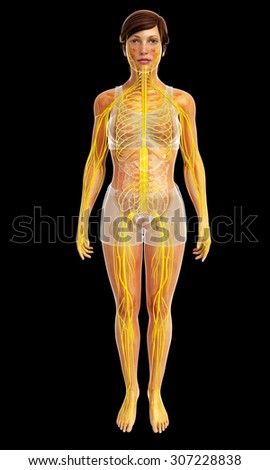 3d rendered illustration of female nervous system
