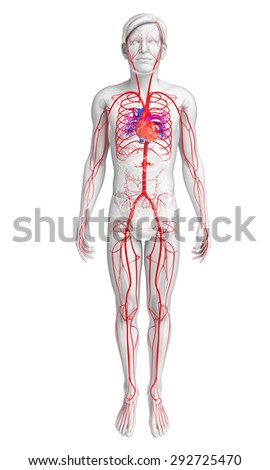3d rendered illustration of male arterial system