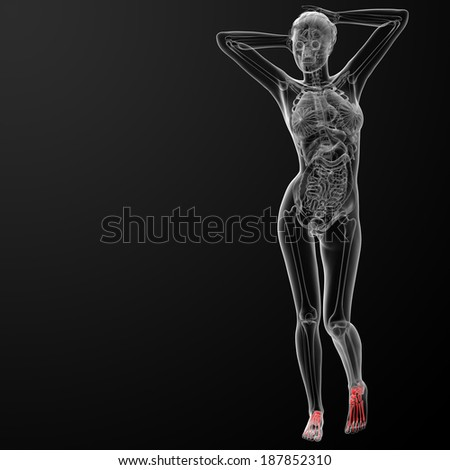 3d rendered illustration of the female foot bone - front view